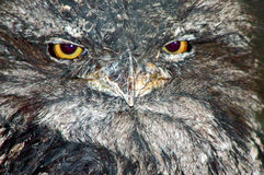 Tawny Frogmouth Arkivfoton
