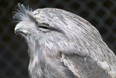 tawny frogmouth Стоковые Фото