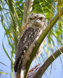 Tawny frogmouth. A tawny frogmouth sitting in a palm tree Stock Photography