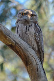 Tawny Frogmouth Stock Afbeeldingen