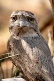 Tawny Frogmouth Royaltyfri Bild