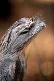 Tawny Frogmouth Stockfoto