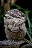 Tawny Frogmouth. A Tawny Frogmouth (often mistaken as an Owl) sitting on a tree branch Stock Photo
