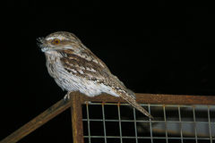 Tawny Frogmouth Foto de Stock Royalty Free