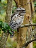 Tawny Frogmouth Photos stock