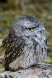 Tawny Frogmouth. A Tawny Frogmouth stock images