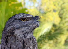 Tawny FrogMouth Royalty Free Stock Images