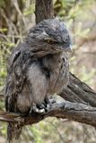 Tawny Frogmouth. Bird native wildlife nature free beak feathers perched perching australia camouflage camouflaging camouflaged still one stare royalty free stock image