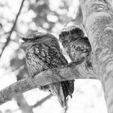 Tawny Frogmouth Birds Fotografie Stock Libere da Diritti