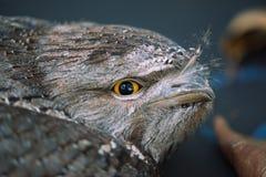 Tawny Frogmouth Stock Photo