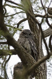 Tawny Frogmouth in Fork of Tree Royalty Free Stock Photo