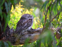 Tawny Frogmouth in tree. A tawny frogmouth bird camouflaged in a treetop in its Australian native habitat (at Knights Hill, Illawarra&#x29 Stock Image