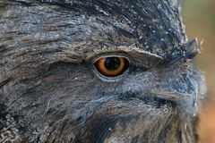 Tawny Frogmouth Owl Stock Afbeeldingen