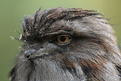 Tawny Frogmouth Owl Royalty-vrije Stock Afbeeldingen