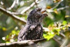 Tawny frogmouth owl. A tawny frogmouth owl in native habitat Stock Photo