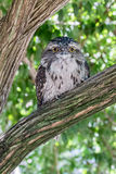 Tawny Frogmouth Owl Stock Images
