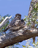 Tawny Frogmouth Owl and Chicks Stock Photos