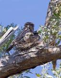 Tawny Frogmouth Owl e pulcini Fotografie Stock