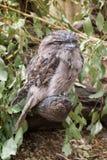 Tawny Frogmouth Owl op een tak wordt neergestreken die Royalty-vrije Stock Foto's