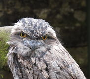 Tawny Frogmouth Owl Podargus strigoides. A Tawny Frogmouth Owl Podargus strigoides Stock Photos