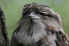 Tawny Frogmouth Owl Stock Photo