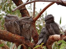 Tawny Frogmouth owls Royalty Free Stock Images