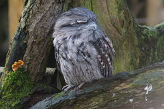 Tawny Frogmouth - Podargus strigoides Stock Photos