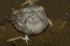 Tawny Frogmouth, Podargus strigoides. A Tawny Frogmouth, Podargus strigoides Stock Images