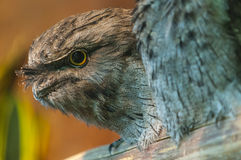 Tawny Frogmouth - Podargus strigoides. Tawny Frogmouth also known as Mopoke or Morepork Stock Photography