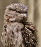 Tawny Frogmouth & x28;Podargus strigoides& x29;. Tawny Frogmouth & x28;Podargus strigoides& x29;, a bird native to Australia and Tasmania Royalty Free Stock Photography