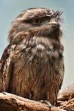 Tawny Frogmouth - Podargus strigoides. A bird native to Australia and Tasmania Stock Images