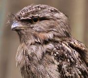 Tawny Frogmouth - Podargus strigoides. A bird native to Australia and Tasmania Royalty Free Stock Photo