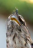 Tawny frogmouth (Podargus strigoides) Stock Photos