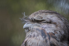 Tawny Frogmouth (Podargus strigoides). Head and upper body facing his right side with blurred mottled background Stock Photography