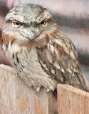 Tawny frogmouth sitting on fence stock photography