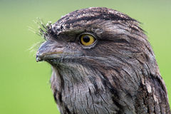 Tawny Frogmouth (podargus strigoides) Royalty Free Stock Photos
