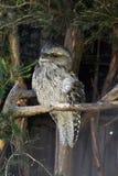 Tawny frogmouth Podargus strigoides. Sitting on branch Stock Photography