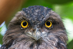 The Tawny Frogmouth portrait Stock Image