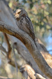 Tawny Frogmouth Stock Photos