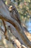 Tawny Frogmouth Stock Photos