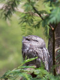 Tawny Frogmouth sitting on a branch in the forest Royalty Free Stock Photography