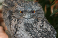 Tawny Frogmouth Sitting on Branch Stock Photography
