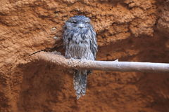 Tawny frogmouth. Sitting on the perch Royalty Free Stock Photos