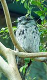 Tawny Frogmouth in situ photos stock