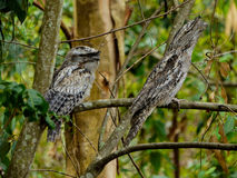 Tawny Frogmouth Royalty Free Stock Image