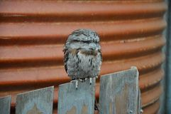 Tawny Frogmouth Royalty Free Stock Photo