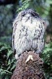 Tawny Frogmouth, Tasmanige, Australië stock foto's