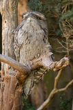 Tawny frogmouth with tufts perching on tree branch, native stock. Closeup of Tawny frogmouth with tufts perching on tree branch, native stocky bird in Australia Stock Photography