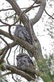 2 Tawny Frogmouths в дереве Стоковые Изображения RF