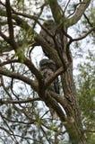2 Tawny Frogmouths в дереве Стоковое Изображение RF